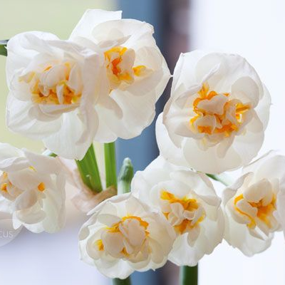Daffodil Bridal Crown Bulbs