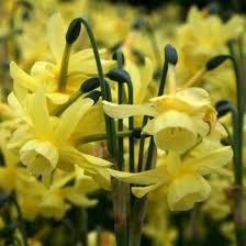 Narcissus Hawera Bulbs
